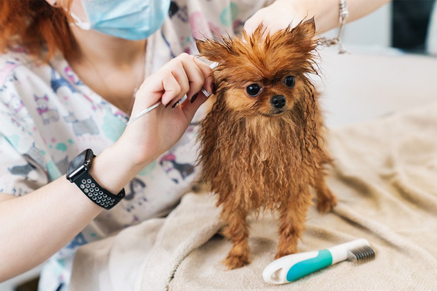 woman grooming a pom