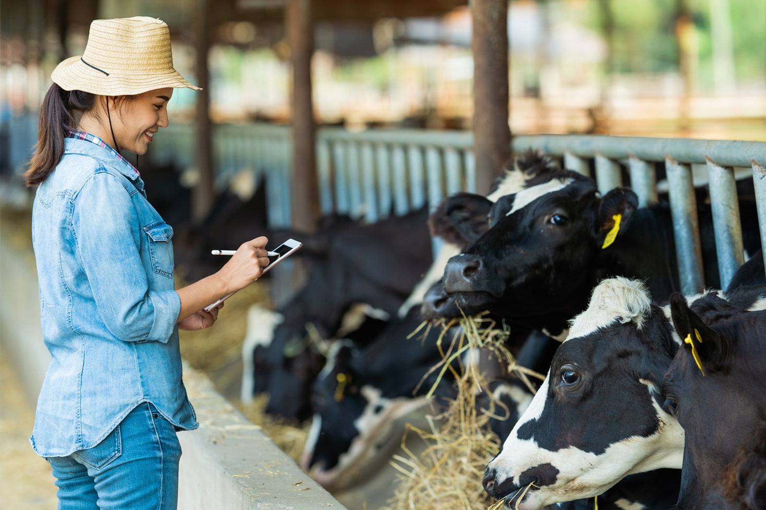 woman checking cows