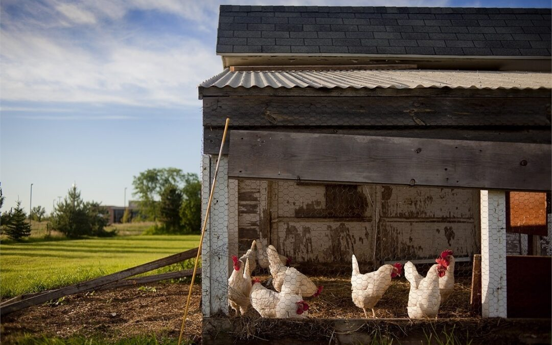 Life Saving Tips For Building a Predator Proof Chicken Coop