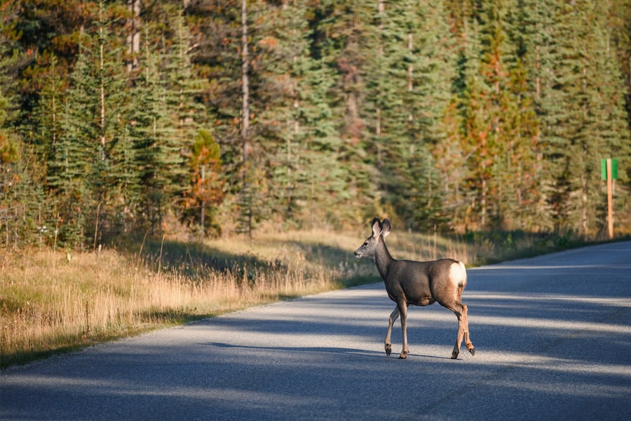 Deer crossing a wide road with trees along