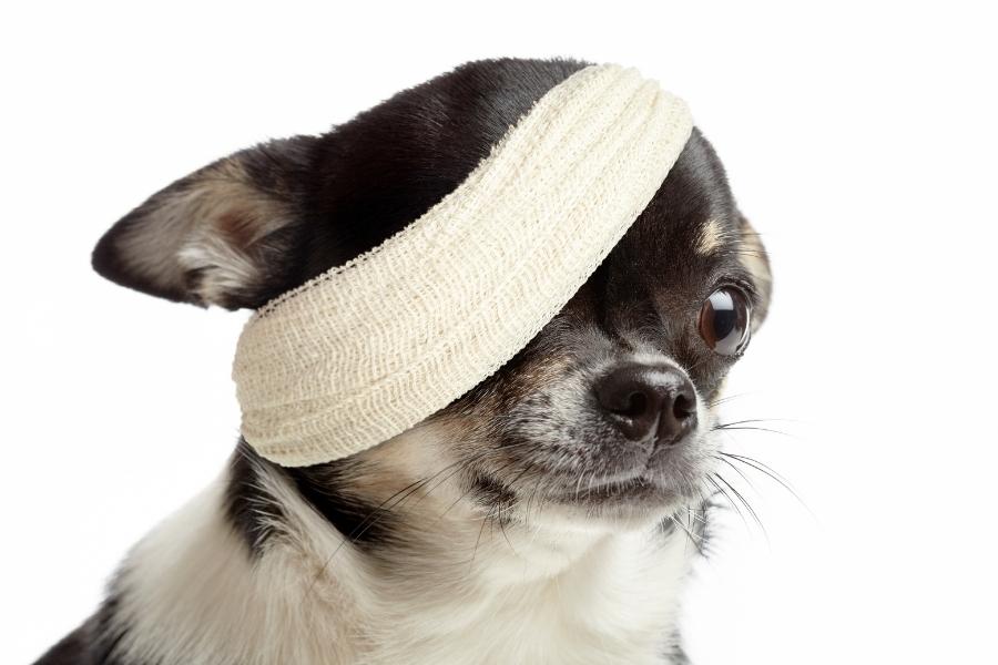 chihuahua with bandage